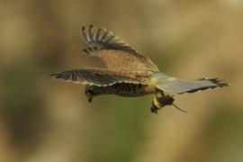 falcoes